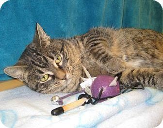 Domestic Shorthair/Domestic Shorthair Mix Cat for adoption in Houston, Texas - ANGIE