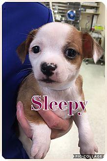 Chihuahua Mix Puppy for adoption in Va Beach, Virginia - Sleepy