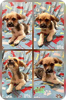 Shih Tzu/Terrier (Unknown Type, Small) Mix Puppy for adoption in Mesa, Arizona - ODIE