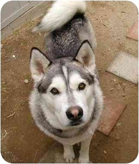Alaskan Malamute Dog for adoption in Northridge, California - Dylan