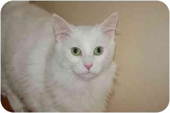 Turkish Angora Cat for adoption in Cincinnati, Ohio - Oliver