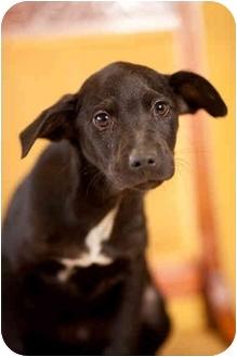 Labrador Retriever Mix Puppy for adoption in Portland, Oregon - Dexter