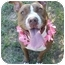 Photo 1 - American Pit Bull Terrier Mix Dog for adoption in Huntington, New York - Margie
