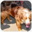 Photo 2 - Australian Shepherd Dog for adoption in Overland Park, Kansas - BLAKE