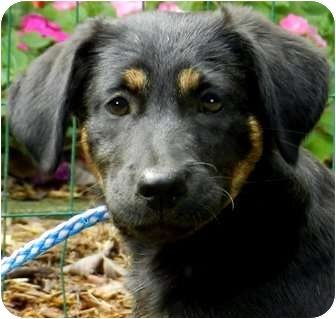 Labrador Retriever/Shepherd (Unknown Type) Mix Puppy for adoption in Wakefield, Rhode Island - FLO