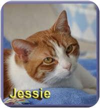 Domestic Shorthair Cat for adoption in Aldie, Virginia - Jessie