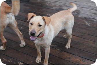 Labrador Retriever Mix Dog for adoption in Naperville, Illinois - Sunny