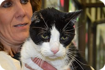 Domestic Shorthair Cat for adoption in Elyria, Ohio - Toby