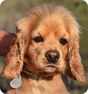 Cocker Spaniel Mix Dog for adoption in Staunton, Virginia - Emma