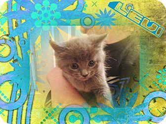 Russian Blue Kitten for adoption in Allentown, Pennsylvania - Levi