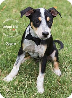 Cattle Dog/Shiba Inu Mix Puppy for adoption in Gilbert, Arizona - Zane