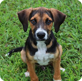 Beagle/Hound (Unknown Type) Mix Puppy for adoption in Scranton, Pennsylvania - Cooter