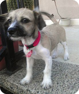 Miniature Schnauzer/Terrier (Unknown Type, Small) Mix Puppy for adoption in Arcadia, California - Munchkin