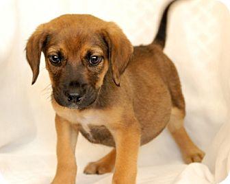 Hound (Unknown Type) Mix Puppy for adoption in Newland, North Carolina - Montgomery