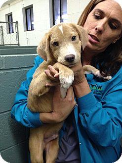 Labrador Retriever/Beagle Mix Puppy for adoption in Barnegat, New Jersey - Davie