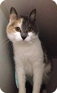 Calico Cat for adoption in tama, Iowa - Friday