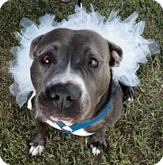 Pit Bull Terrier Mix Dog for adoption in Laingsburg, Michigan - Blue
