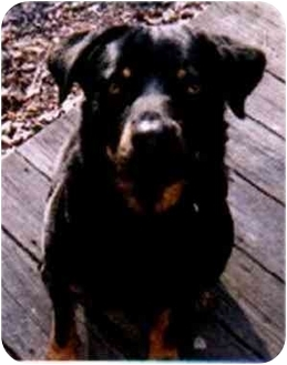 Rottweiler Dog for adoption in Austin, Texas - Liber-T