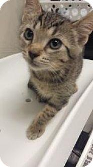 Domestic Shorthair Cat for adoption in Parma, Ohio - Monkey aka Sam
