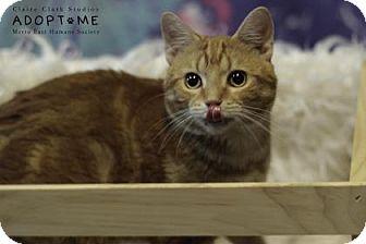 Domestic Shorthair Cat for adoption in Edwardsville, Illinois - Dexter