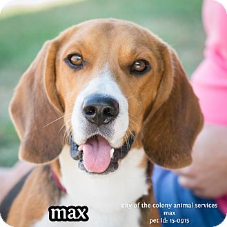 Beagle Mix Dog for adoption in The Colony, Texas - Max