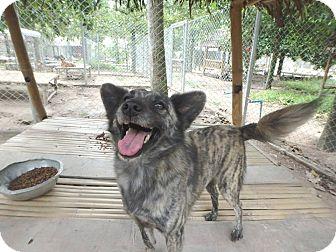 Corgi Mix Dog for adoption in WADSWORTH, Illinois - Spirit