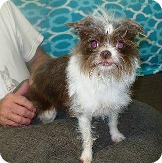 Affenpinscher Mix Dog for adoption in Eastpoint, Florida - Ginger