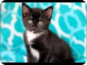 Maine Coon Kitten for adoption in Rocklin, California - Princess Kalahari and Mojave