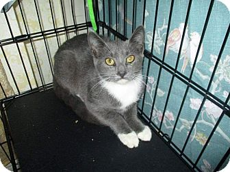 Domestic Shorthair Cat for adoption in Staten Island, New York - Princess