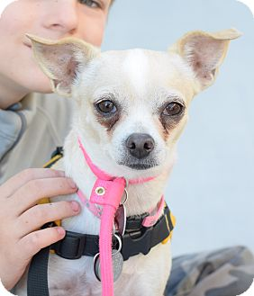Chihuahua Mix Dog for adoption in Gilbert, Arizona - Athena