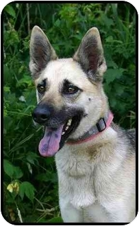 German Shepherd Dog/Chow Chow Mix Dog for adoption in Ladysmith, Wisconsin - Nikki