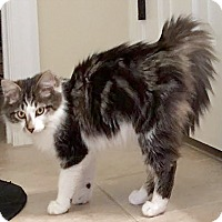 Domestic Mediumhair Cat for adoption in Youngsville, North Carolina - Yogi