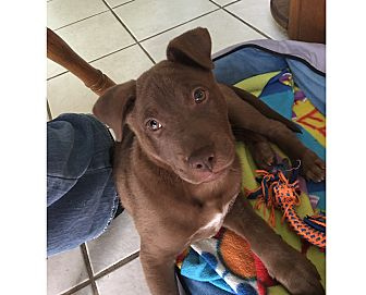 Labrador Retriever Mix Puppy for adoption in South San Francisco, California - Remington