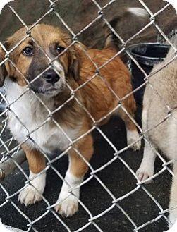 Corgi Mix Puppy for adoption in Gustine, California - GEORGIE