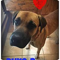 Adopt A Pet :: Duke-B - West Hartford, CT