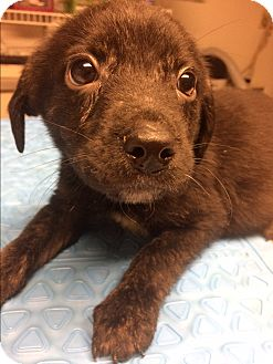 Beagle/Mixed Breed (Medium) Mix Puppy for adoption in St. Louis, Missouri - PJ