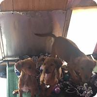 Adopt A Pet :: Dachshund Golden retriever mix pups - York, SC