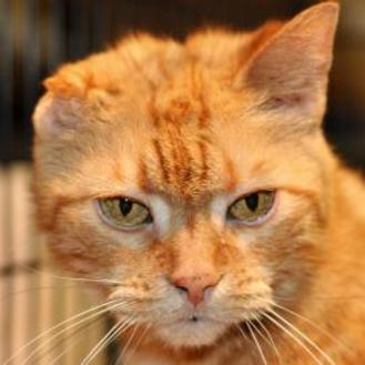 Domestic Shorthair/Domestic Shorthair Mix Cat for adoption in Tilton, Illinois - Anne