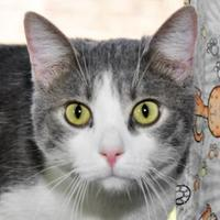 Domestic Mediumhair/Domestic Shorthair Mix Cat for adoption in Tilton, Illinois - Pennington