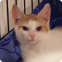 Adopt A Pet :: Rollie - Kensington, MD