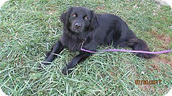 Border Collie Mix Dog for adoption in LaGrange, Kentucky - LINDSIE