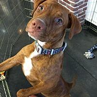 Adopt A Pet :: Carmel - Chandler, AZ