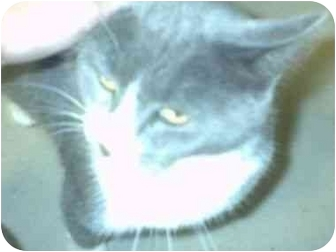 Domestic Shorthair Cat for adoption in Aledo, Illinois - Stacy
