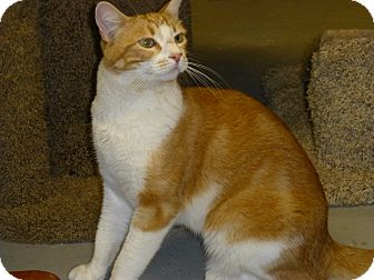 Domestic Shorthair Cat for adoption in Quail Valley, California - Max