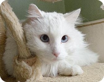Domestic Mediumhair Cat for adoption in Van Nuys, California - Frost