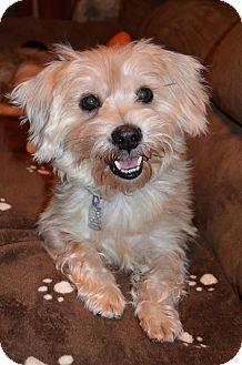 Maltese/Dachshund Mix Dog for adoption in Wytheville, Virginia - Buddy Boy