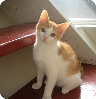 Domestic Shorthair Kitten for adoption in Bayonne, New Jersey - Shamus