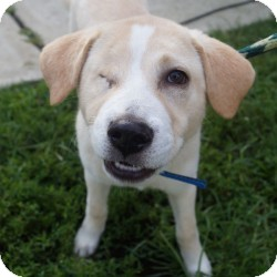 Labrador Retriever Mix Puppy for adoption in Eatontown, New Jersey - Blinkin
