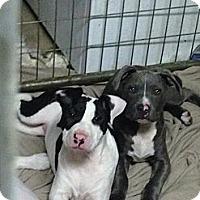 Adopt A Pet :: Dixie - Burr Ridge, IL
