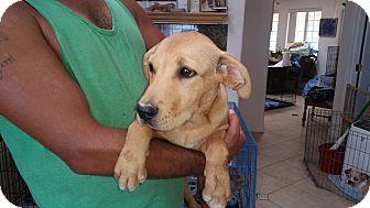 Shepherd (Unknown Type)/Labrador Retriever Mix Puppy for adoption in Landers, California - MARLEY